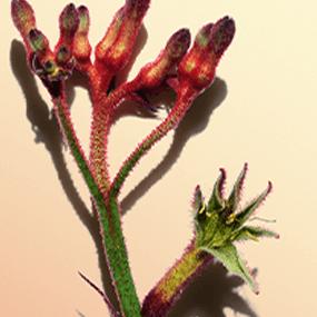 Flor de pata de canguru