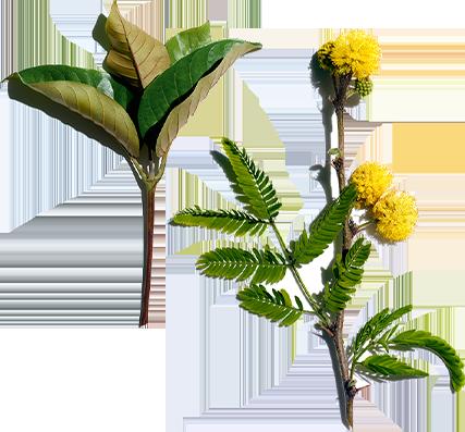 Harungana et fleur de cassie