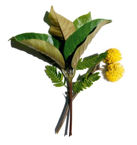 Harungana bio e flor de acácia