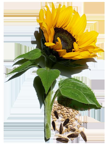 Ingrediente girassol e as suas sementes