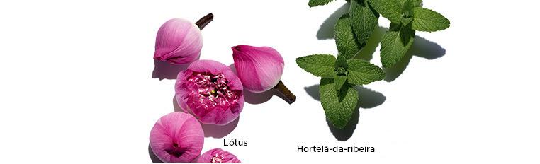 Visuais dos ingredientes Lótus, Camomila e Hortelã Brava.