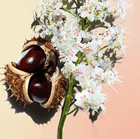 Castanheiro-da-índia